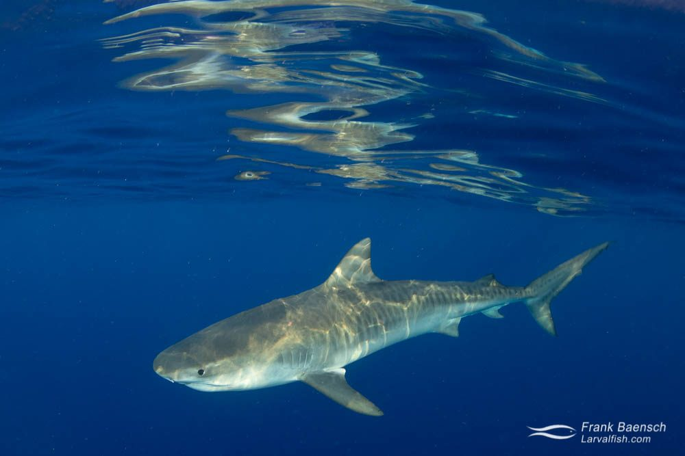 A tiger shark on the surface off Oahu, Hawaii