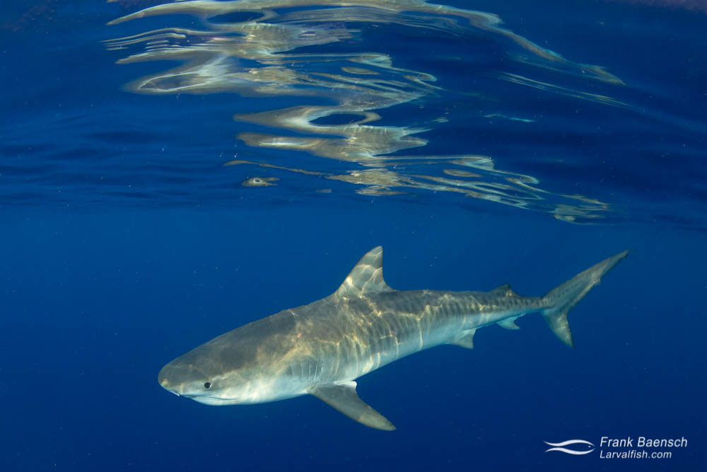 A tiger shark on the surface off Oahu, Hawaii.