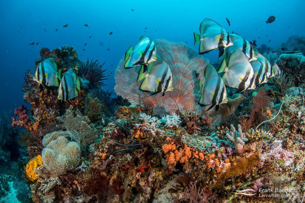 Pinnate spadefish (Platax pinnatus) schooling on a reef in Raja Ampat, Indonesia.
