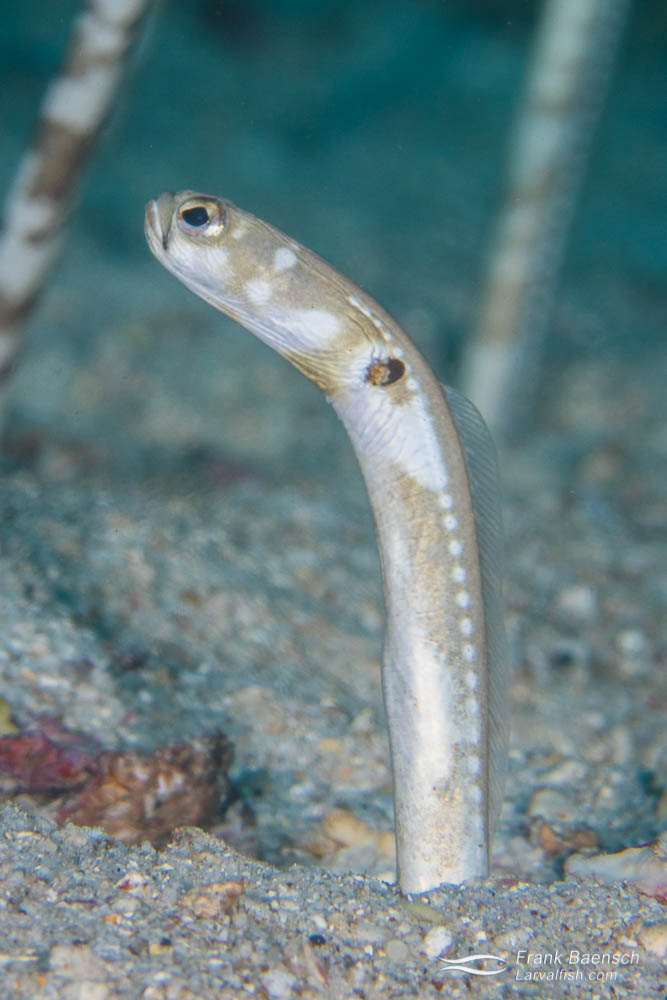 Cocos garden eel (Heteroconger klausewitzi). The common name is deceiving. This species is actually widespread in the Eastern Pacific region. Costa Rica.