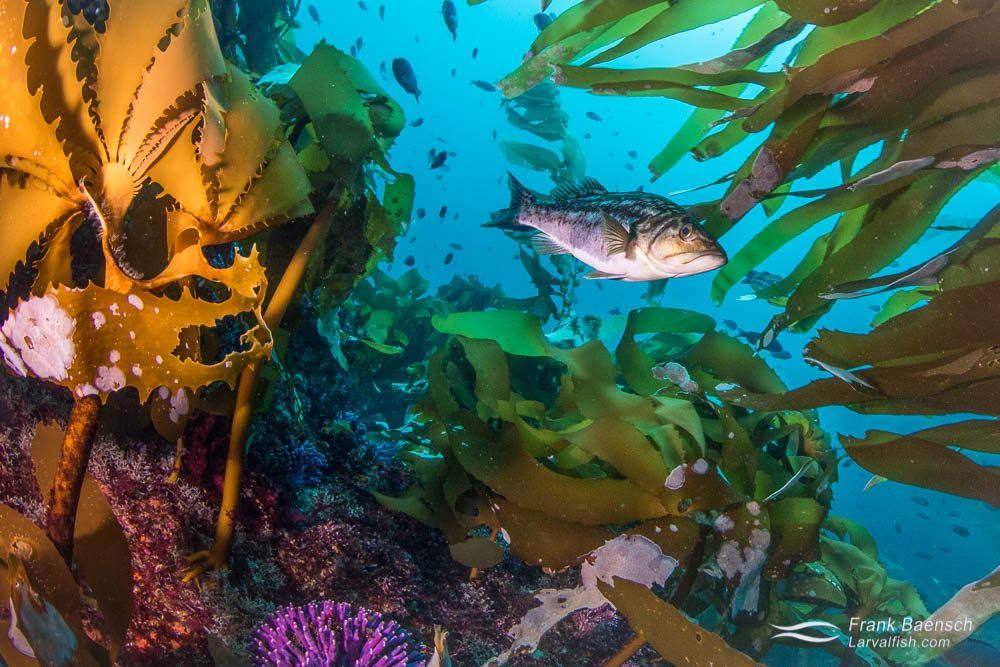 Kelp bass (Paralabrax clathratus). California.