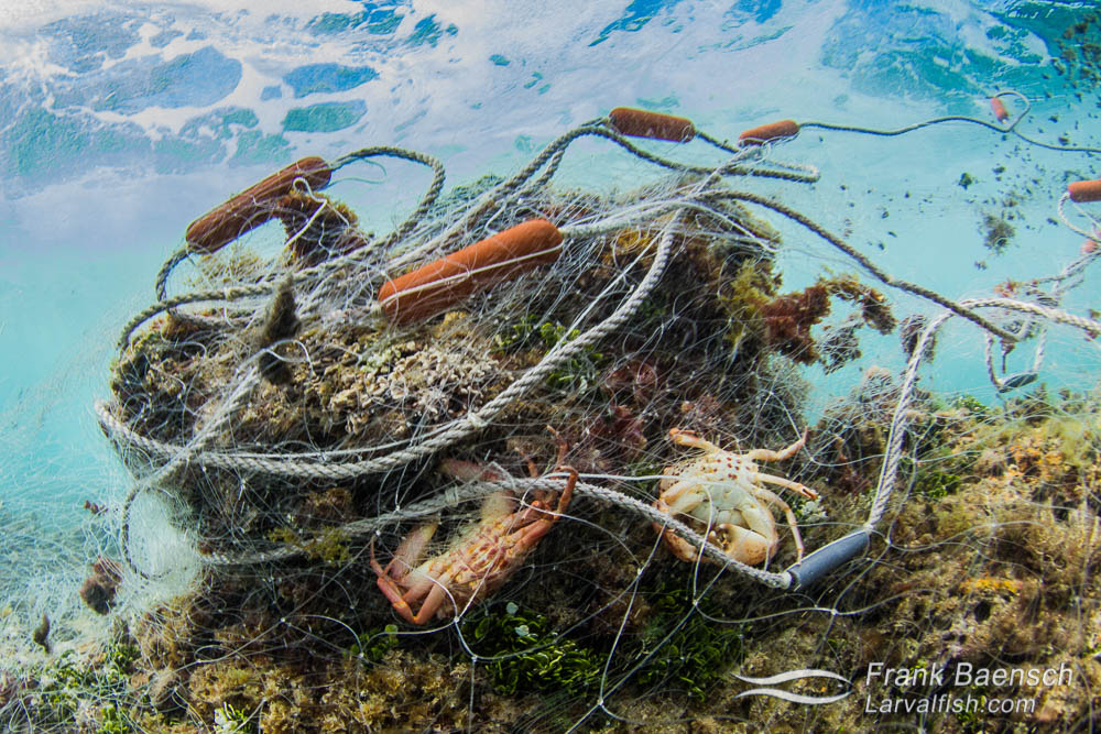 Trapped coral crabs in a 300 foot abandoned gill net on a reef in the surf zone on Oahu, Hawaii. The net also had trapped parrotfish, wrasses, goatfish, surgeonfish,  spiny lobsters, slipper lobsters and other fish that had decayed beyond identification.