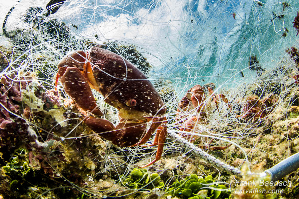 Trapped coral crab in a 300 foot abandoned gill net on a reef in the surf zone on Oahu, Hawaii. The net also had trapped parrotfish, wrasses, goatfish, surgeonfish,  spiny lobsters, slipper lobsters and other fish that had decayed beyond identification.