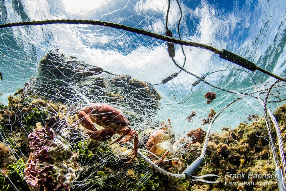 Trapped crabs in an abandoned gill net on a Hawaiian reef.  The net also had trapped parrotfish, wrasses, goatfish, surgeonfish, coral crabs, spiny lobsters, slipper lobsters and other fish that had decayed beyond identification.