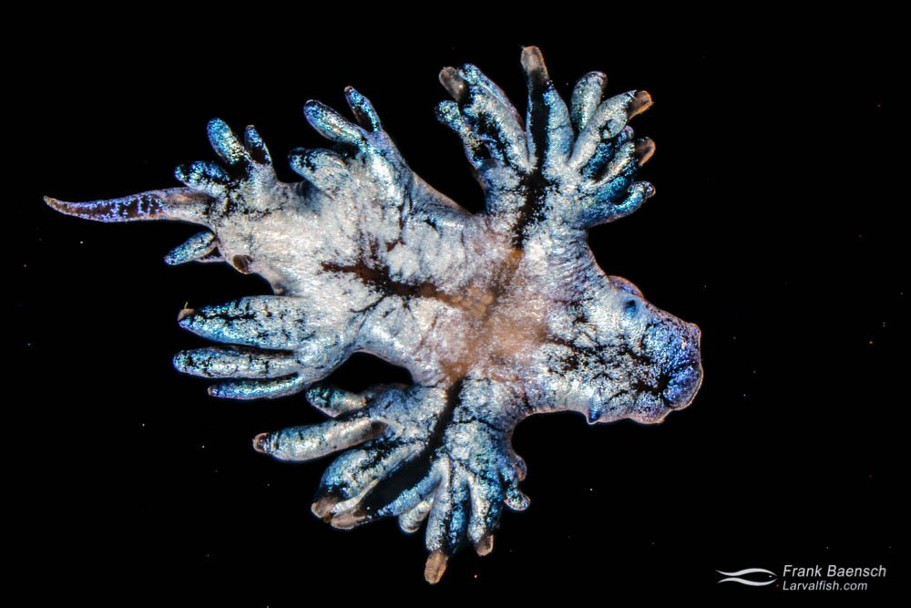 Collected sea swallow (Glaucus atlanticus), a pelagic aeolid nudibranch. Hawaii.