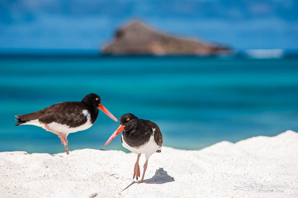 American oystercatchers (Haematopus palliatus). Galapagos Islands.