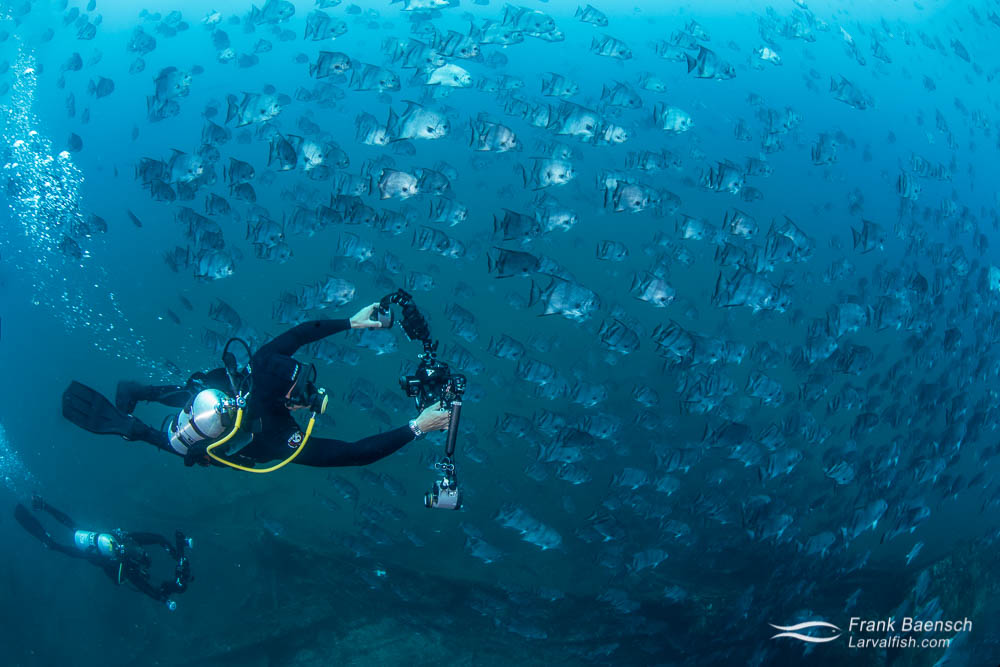 Divers photograph a massive school of Atlantic spadefish (Chaetodipterus faber) above a wreck in North Carolina.