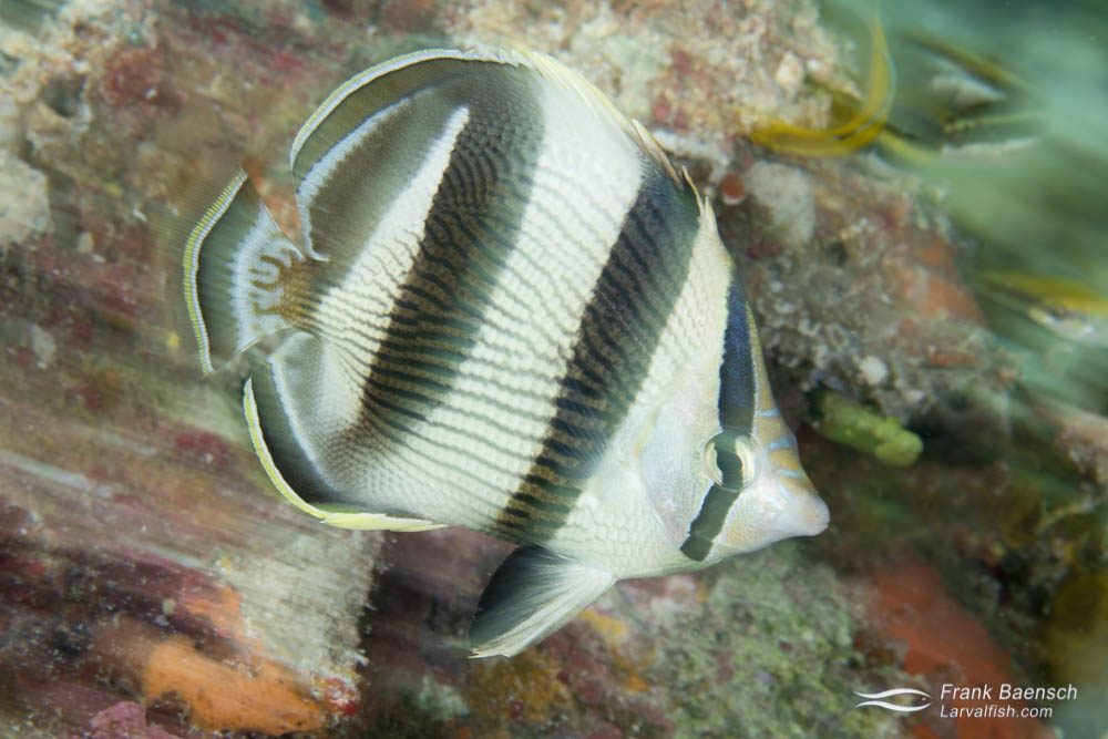 Banded butterflyfish (Chaetodon striatus). Bahamas.