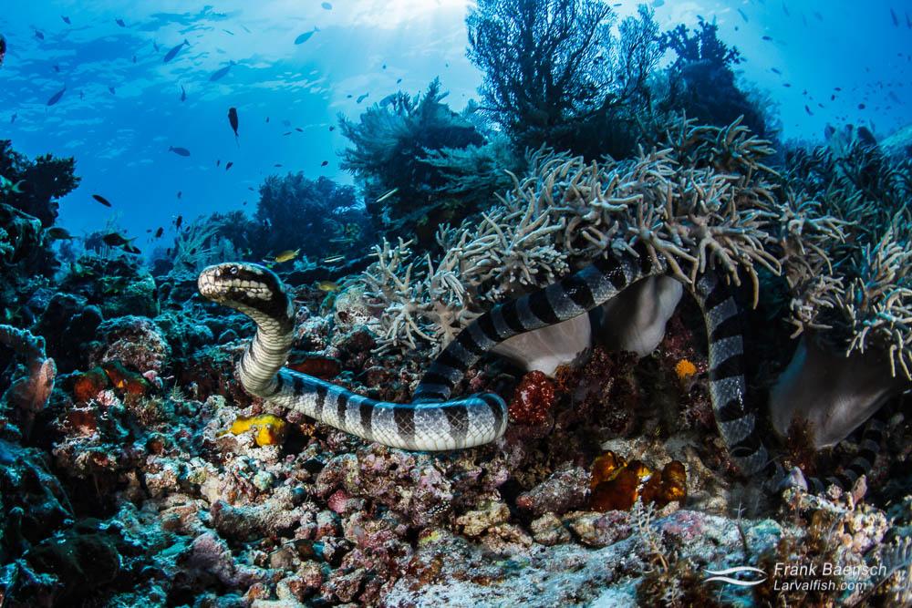 Banded sea krait hunting on a reef  in Raja Ampat