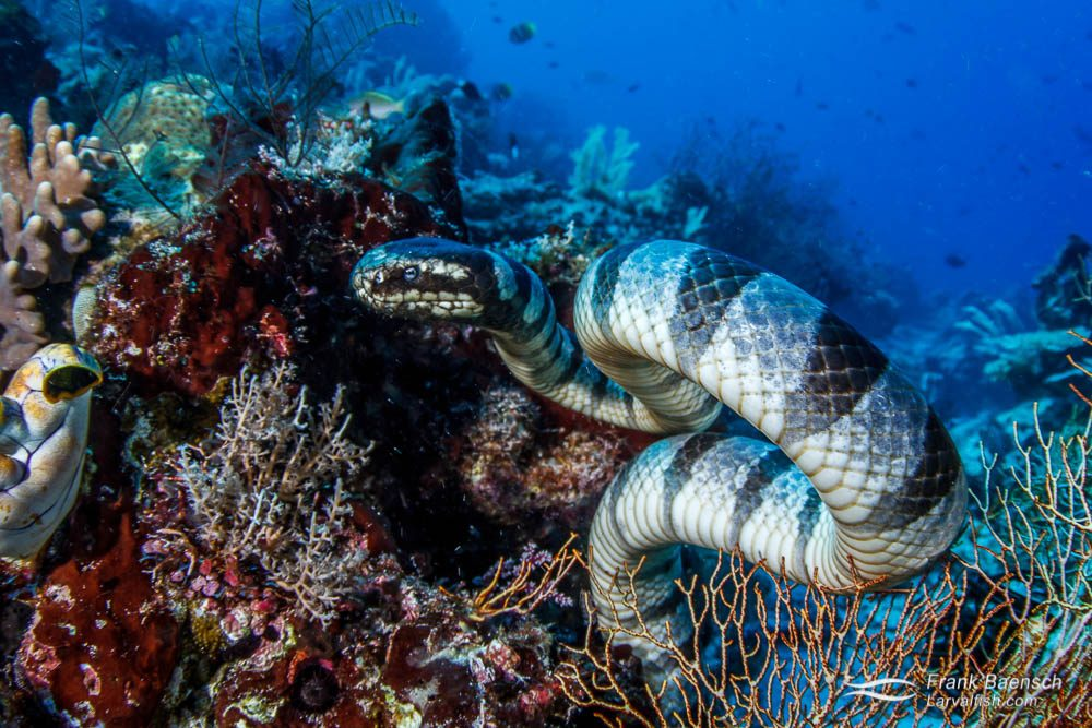 Banded sea krait curls up while hunting on a reef  in Raja Ampat