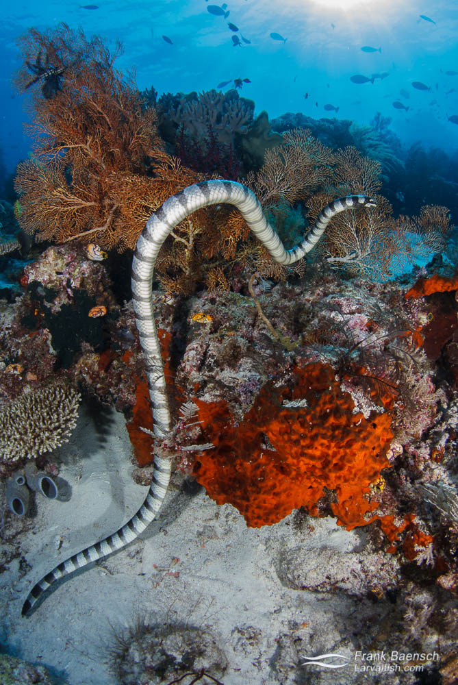 Banded sea krait hunting over a bright red sponge