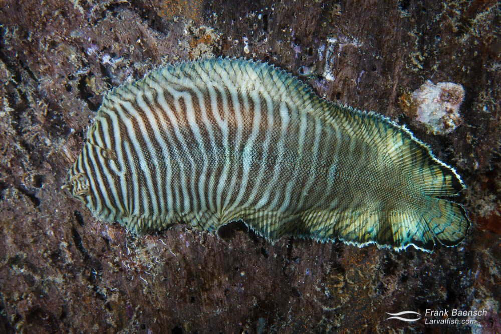 Banded sole (Soleichthys hsterorhinos). Papua New Guinea.