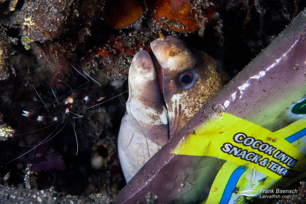 A barred moray peeks out behind a pastic bag. Lembeh Strait, Indonesia.