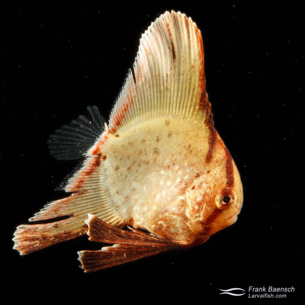 Batfish larva - 14.8 mm TL. Papua New Guinea.