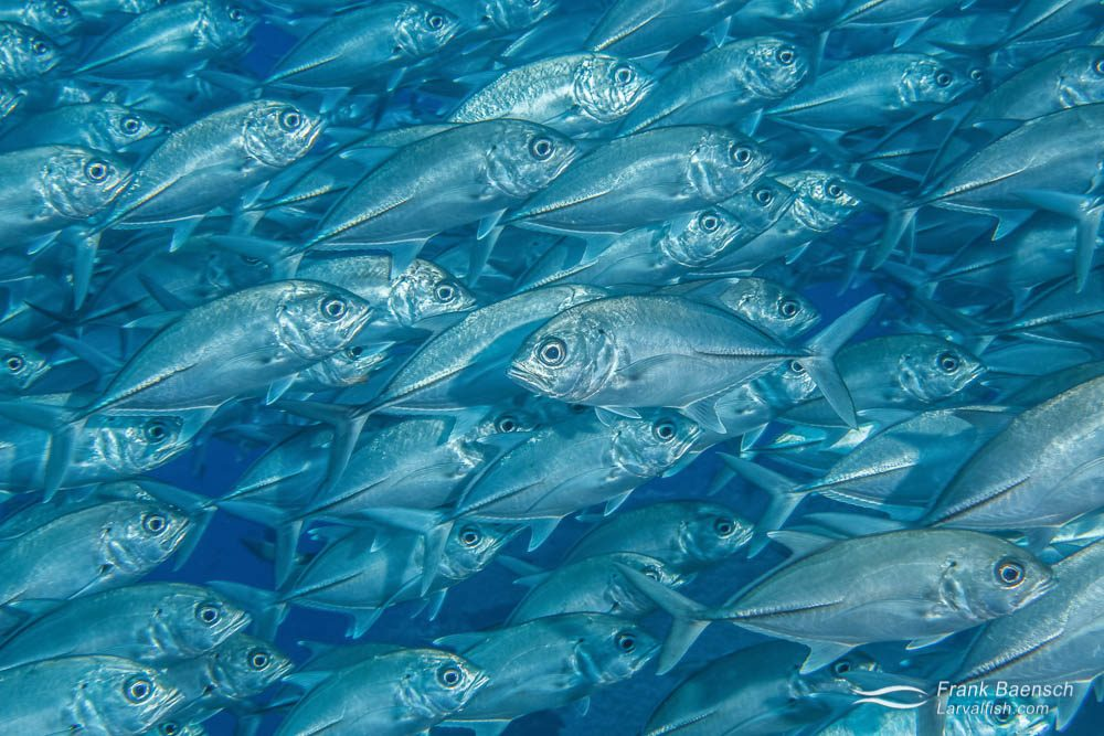 One bigeye trevally (Caranx sexfasciatus) swims opposite to the rest of the school. Indonesia.