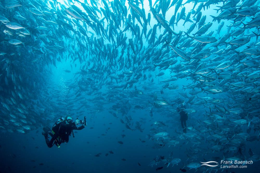 Filming diver swims through a school of Bigeye trevally (Caranx sexfasciatus). Costa Rica.