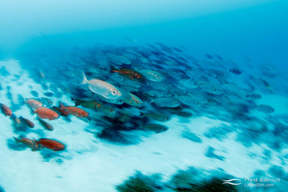 Motion blur of bigeyes (Priacanthus arenatus) schooling over open reef in Palau.