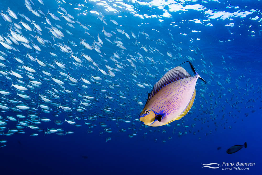 A bignose unicornfish (Naso vlamingii)  poses infront of a school of blackstreak fusiliers (P. tile) in blue water. Indonesia.