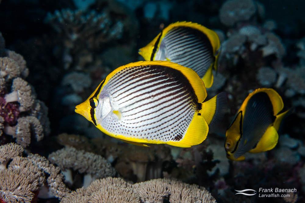 Three black-back butterflyfish (Chaetodon melannotus). Papua New Guinea.