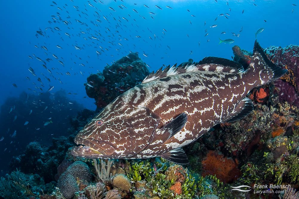 A beautiful black grouper (Mycteroperca bonaci) on a Bahamian reef.  Like all groupers, this species is a protogynous hermaphrodite. Reproductive activity is from November through May with no  consistent lunar pattern.  Spawning aggregations have been reported throughout its range - from the Bahamas, Belize, Cayman Islands, Cuba and Florida.
