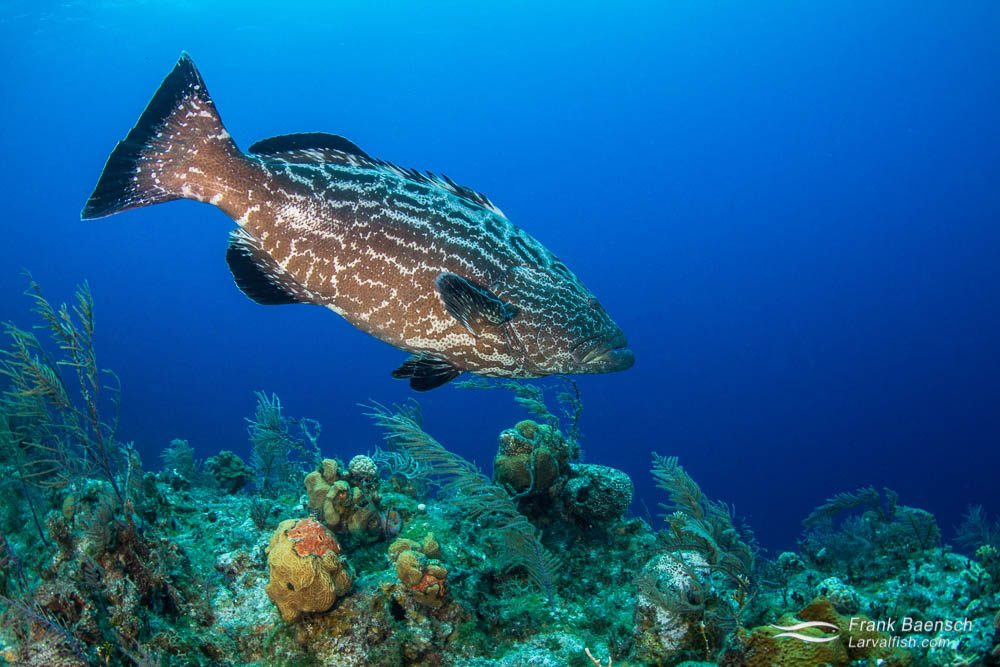 Black grouper (Mycteroperca bonaci). Like all groupers, this species is a protogynous hermaphrodite. Reproductive activity is from November through May  with no  consistent lunar pattern.  Spawning aggregations have been reported throughout its range - from the Bahamas, Belize, Cayman Islands, Cuba and Florida.