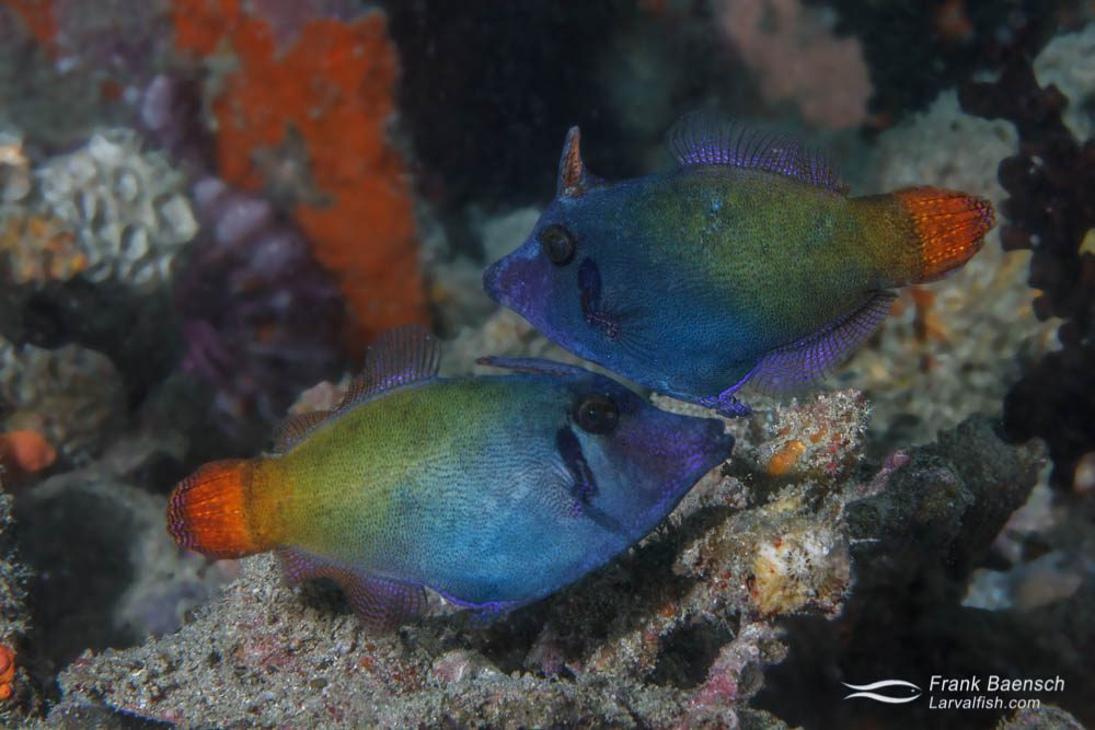 Blackbar filefish (Pervagor janthinosoma) pair spawning. Papua New Guinea.