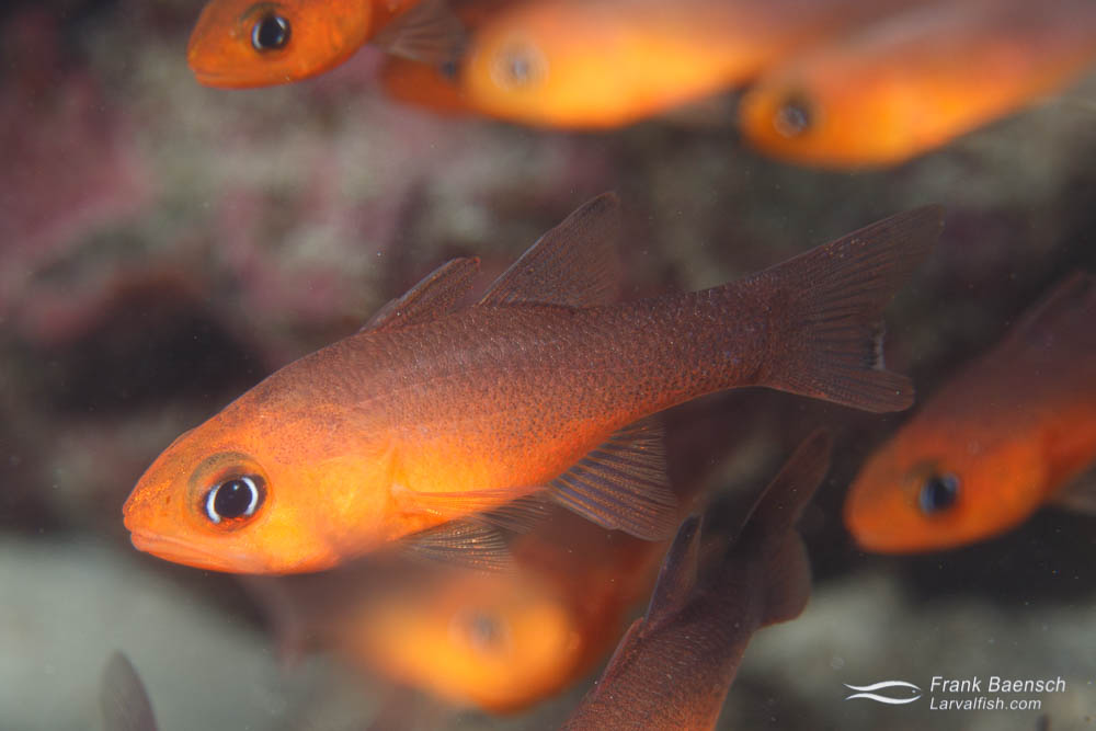Blackfin cardinalfish (Apogon atradorsatus) are found only at Cocos Island, Malpelo Island and Galapagos usually near crevices and sea urchins. Costa Rica.