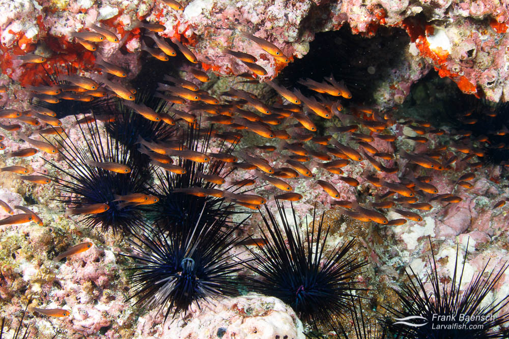 Blackfin cardinalfish (Apogon atradorsatus) are found only at Cocos Island, Malpelo Island and Galapagos usually near crevices and sea urchins. Costa Rica.