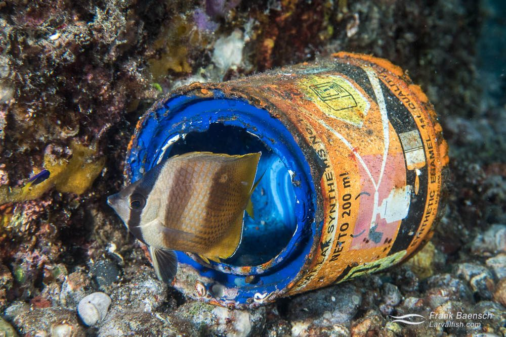 A juvenile blacklip butterflyfish (Chaetodon kleinii) makes its home in a tin can. Indonesia.