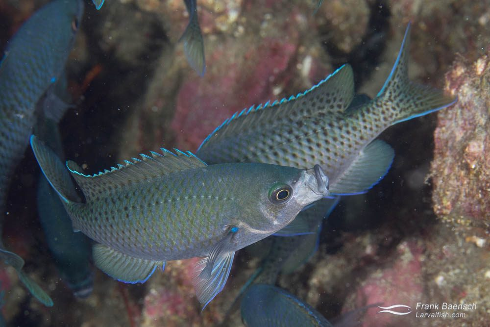 Blacksmith damselfish (Chromis punctipinni) jawning. California.