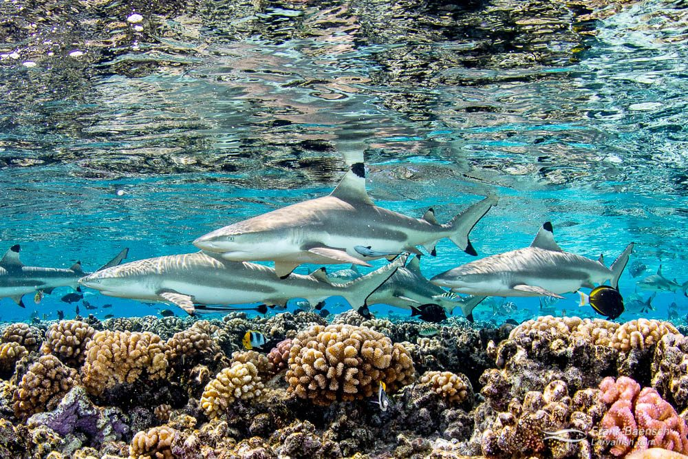Blacktip reef sharks (Carcharhinus melanopterus) reflect off the surface  on a shallow reef in Fakarava, French Polynesia.