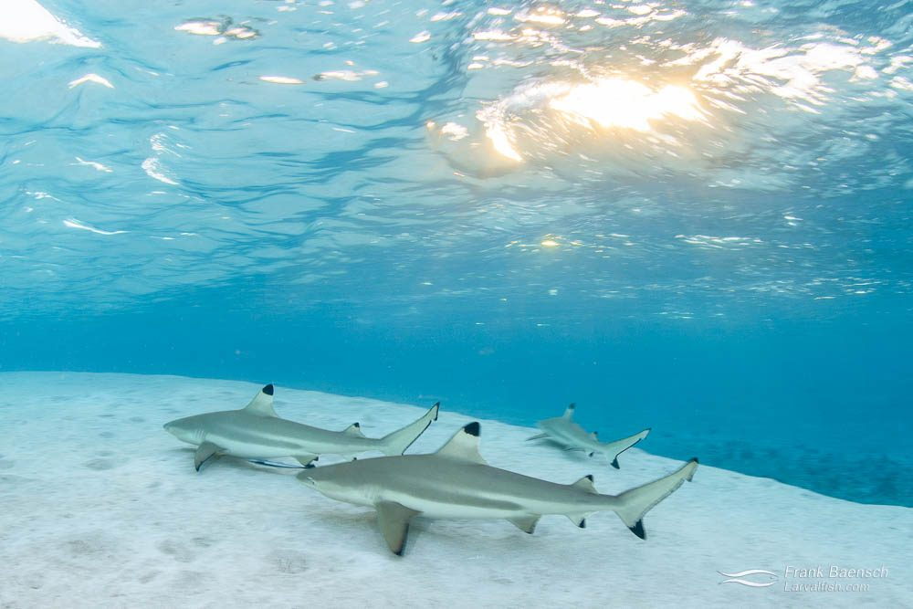 Blacktip reef shark (Carcharhinus melanopterus) hunting on the sand at sunset. French Polynesia.