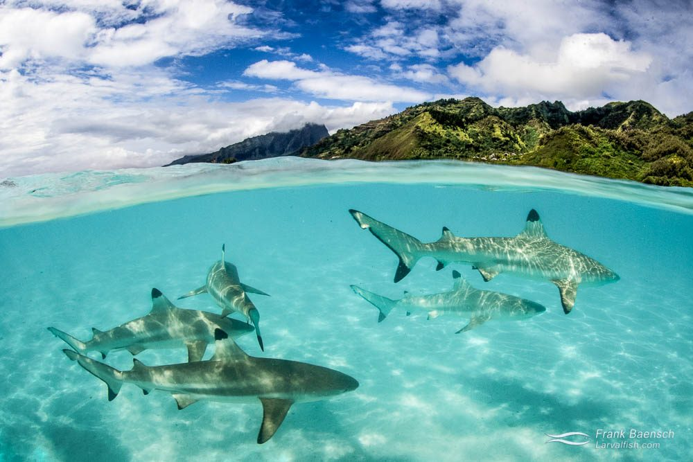 Blacktip reef sharks on a sandbar with Moorea's mountains in the background. French Polynesia.