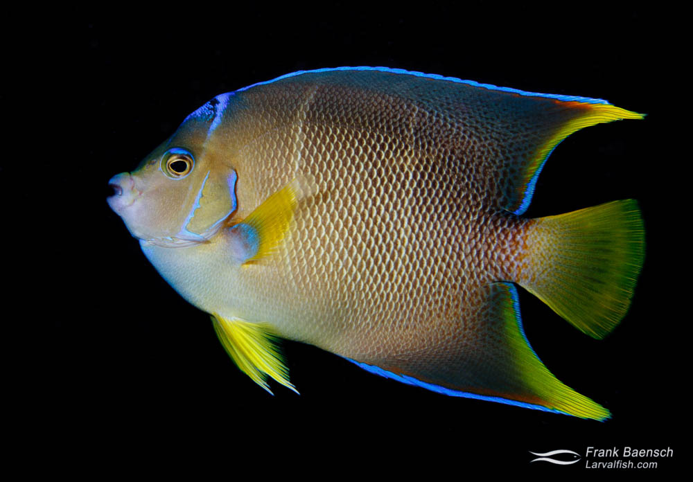 A blue angelfish (Holacanthus bermudensis) sub-adult. Florida.
