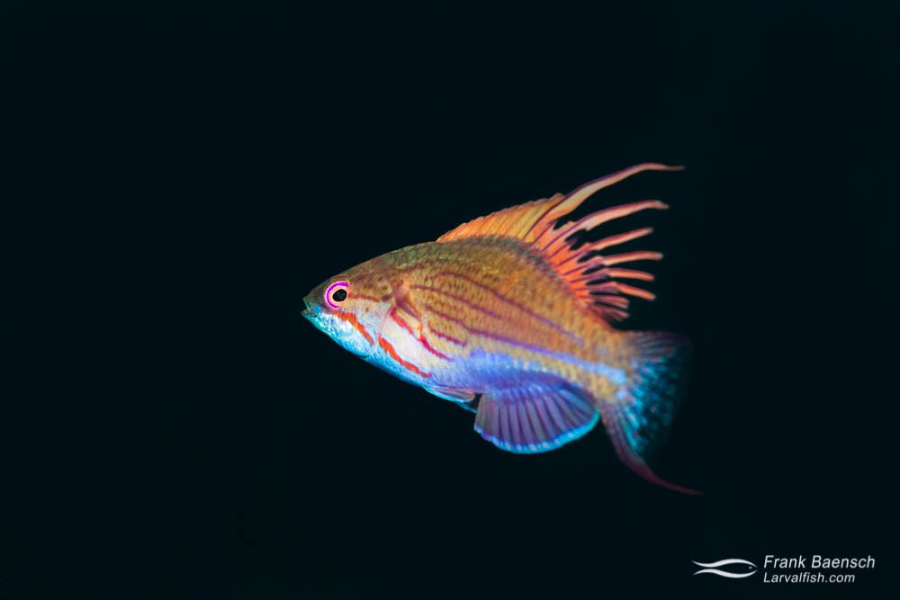 Blue flasher  wrasse (Paracheilinus cyaneus) changes colors shifts colors during  its mating ritual. Indonesia.