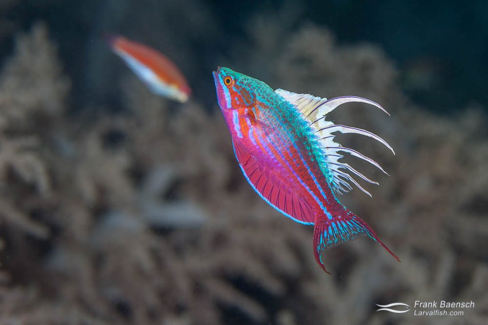 A blue flasher (Paracheilinus cyaneus)  in full glory. Indonesia.
