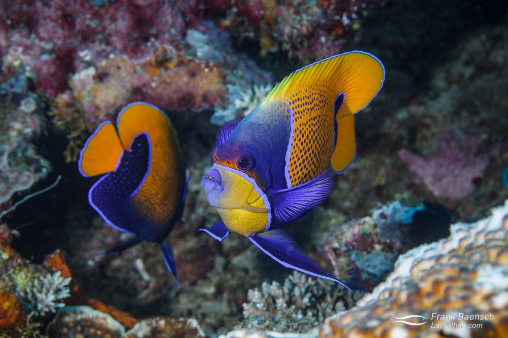 Blue-girdled angelfish (Pomacanthus navarchus) pair. Papua New Guinea.