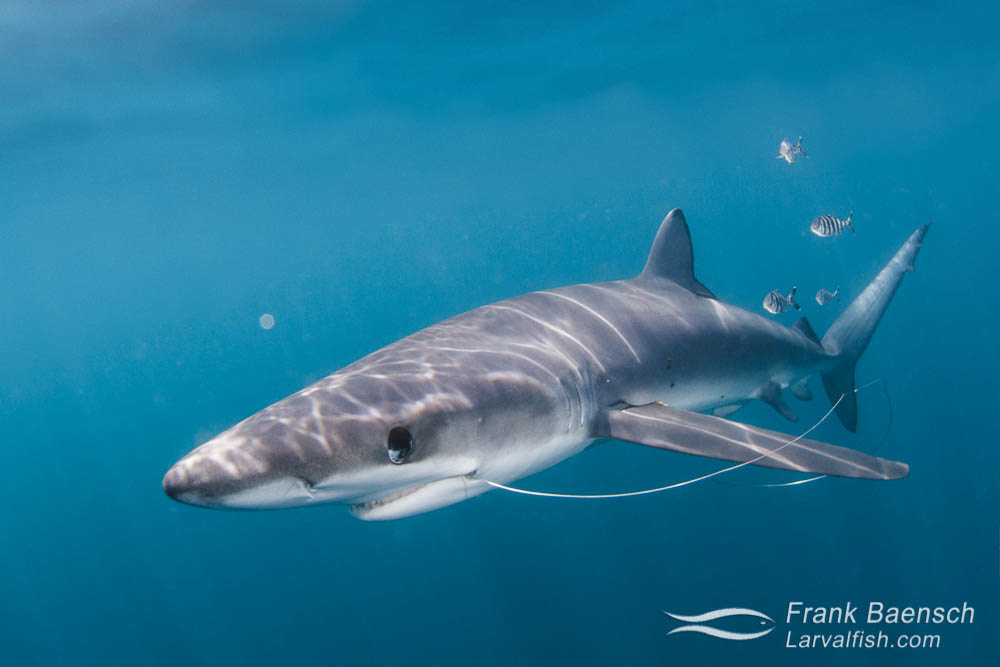 Blue shark (Prionace glauca) with fishing leader. Rhode Island.