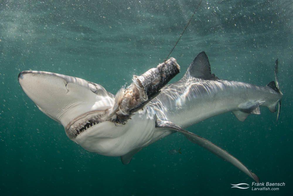 A blue shark (Prionace glauca) biting a piece of blue fish. Rhode Island.