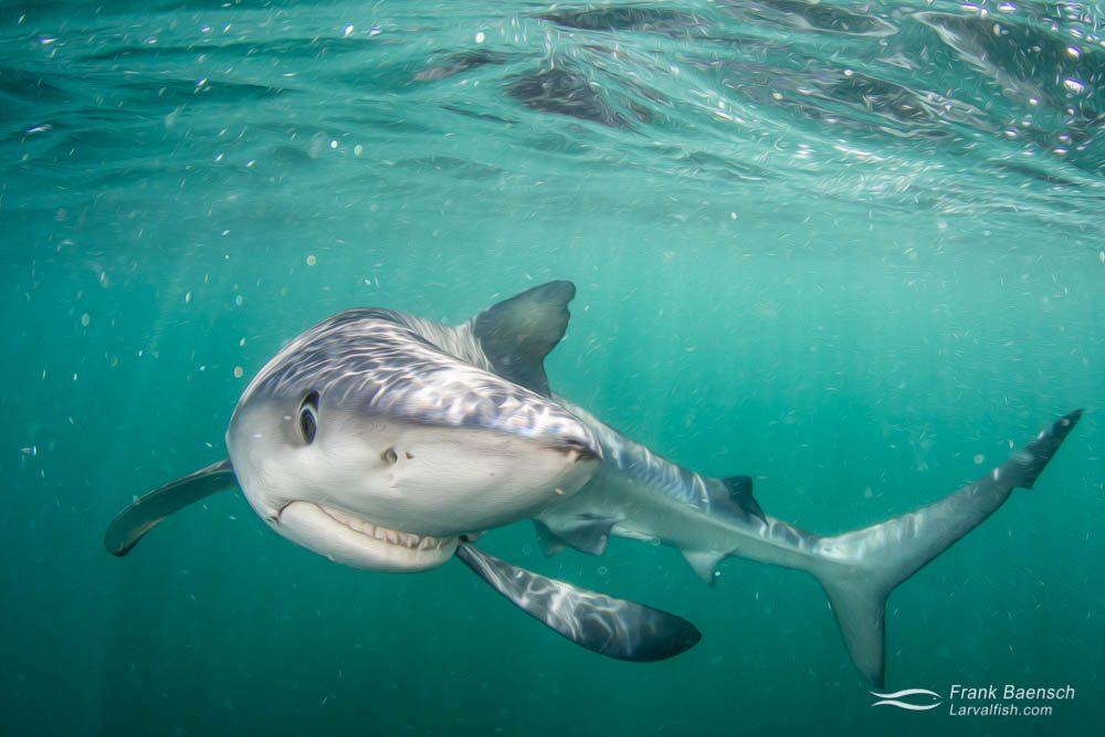 Blue shark (Prionace glauca) smile. Rhode Island.