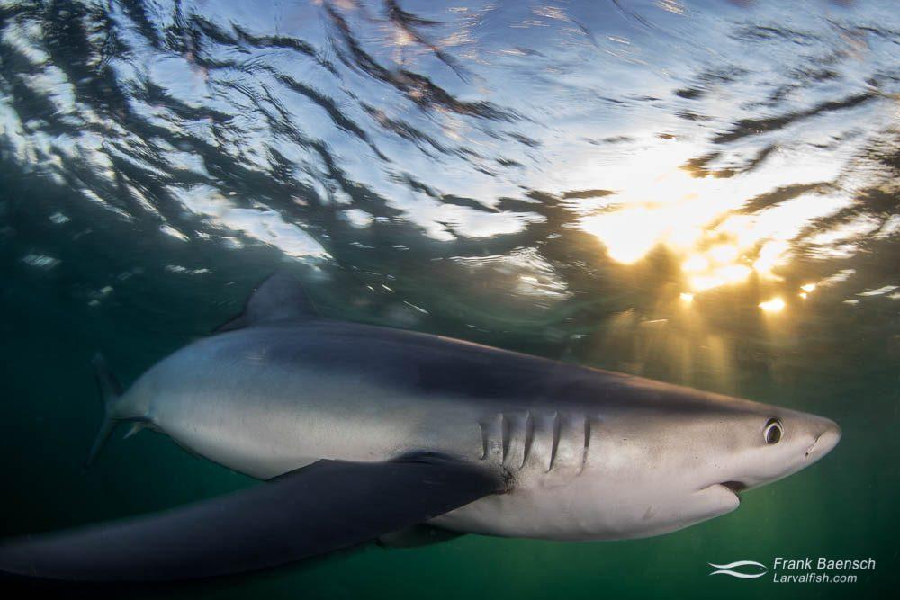 Blue shark (Prionace glauca) at twilight. Rhode Island.