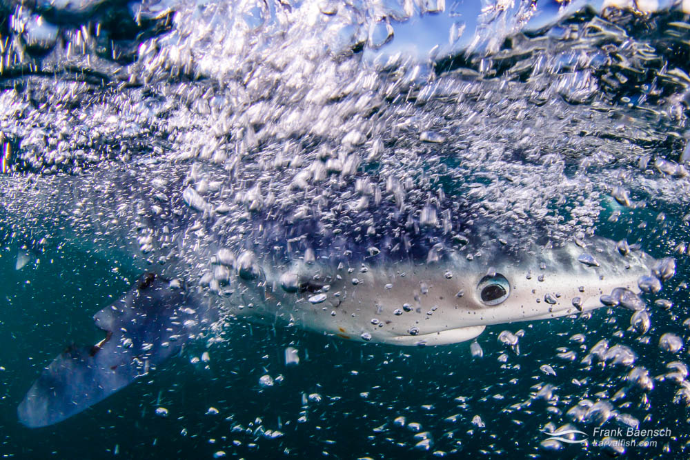 A blue shark (Prionace glauca) breaks the surface off New England.