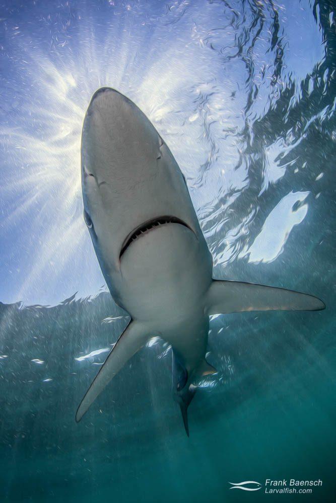 Sunrays above blue shark (Prionace glauca) on the surface. Rhode Island.