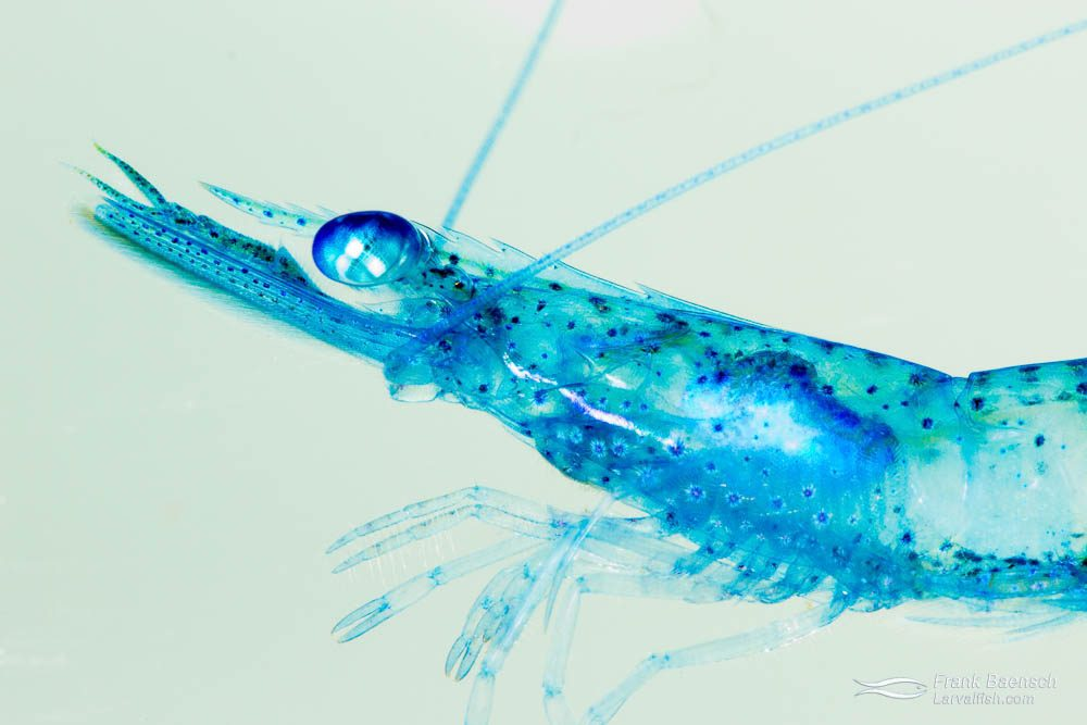 Collected blue pelagic shrimp. Hawaii.