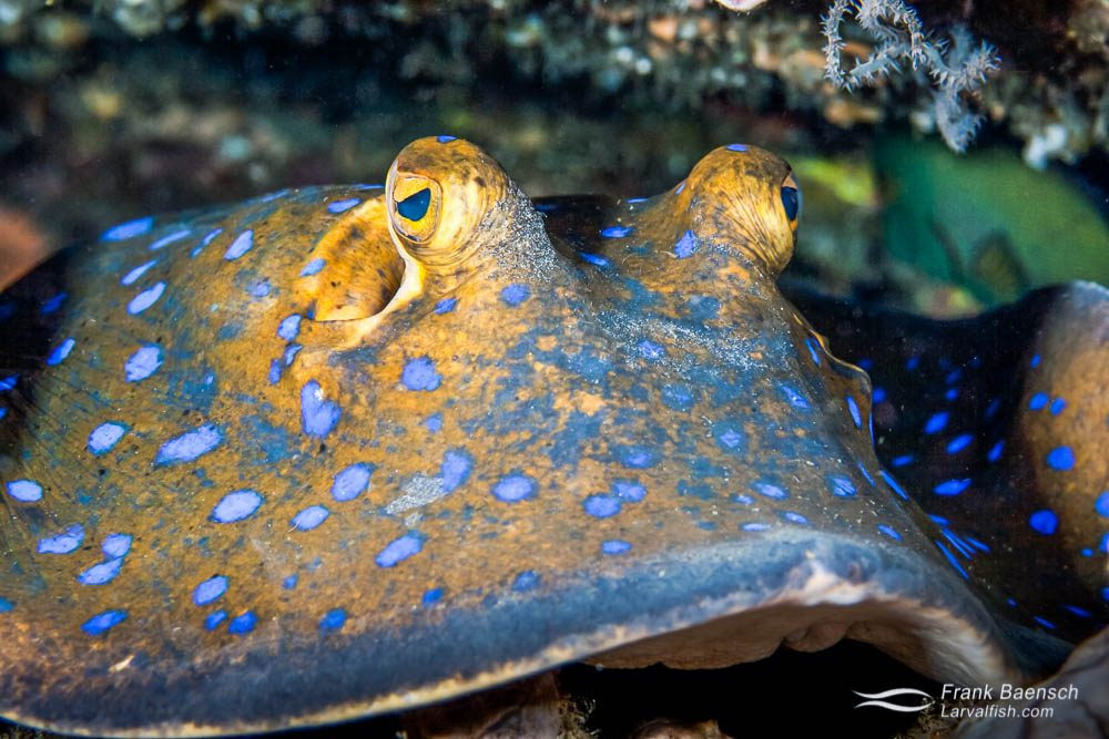 Close up of a blue-spotted ray (Taeniura lymma) resting under a ledge. Indonesia.