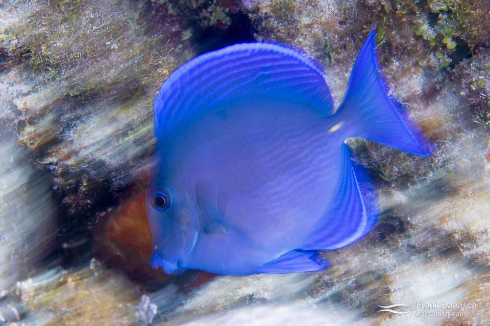 Juvenile blue tang (Acanthurus coeruleus). Bahamas.