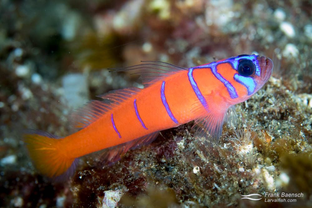 Bluebanded goby (Lythrypnus dalli). California.