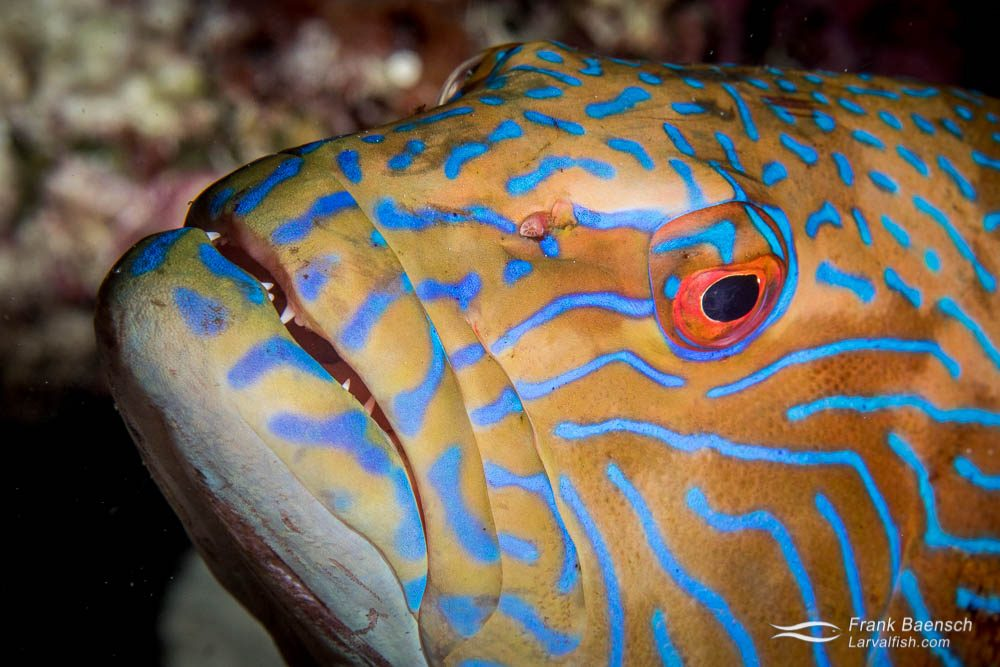 Head shot of bluelined grouper (Cephalopholis formosa). Indonesia.