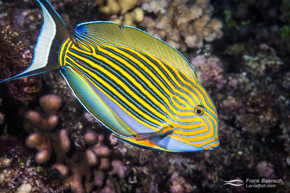 Bluelined surgeonfish (Acanthurus nigroris) on a reef. Papua New Guinea.