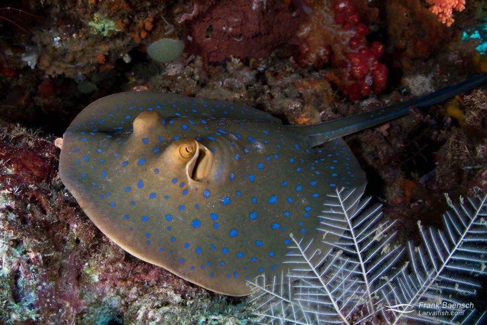 Bluespotted ribbontail ray (Taeniura lymma). Indoensia.